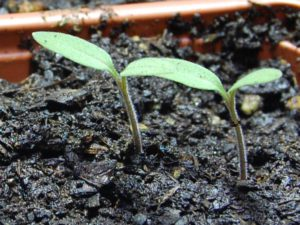 Germinating_tomatos